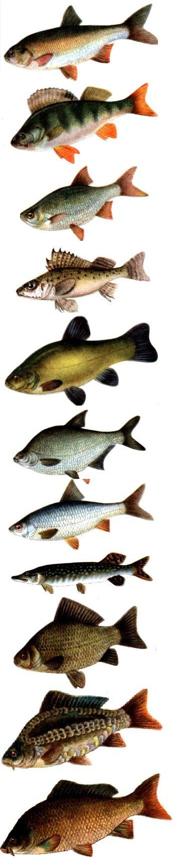 виды рыб плотва
