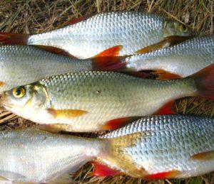 рыбалка на красноперку