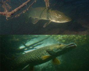 рыбалка на шуку