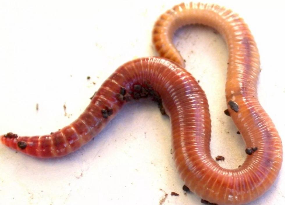 Навозный червь для карпа