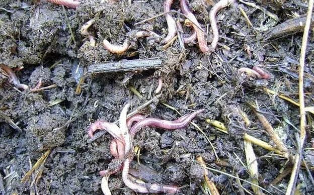 Вылазка червей